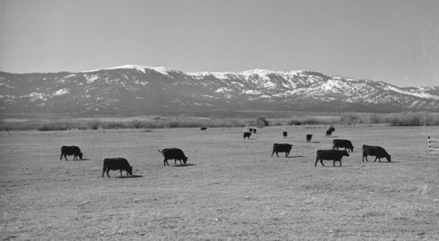 Cows in the Honey Lake Valley, 1947