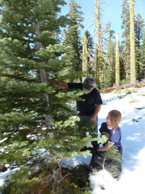 Finding a Christmas Tree can be a fun family adventure on the Lassen National Forest ~photo provided